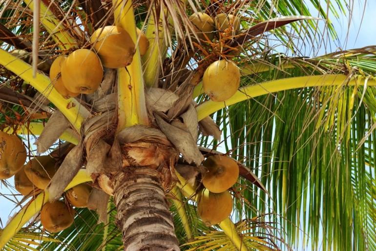San Blas coconut palm tree