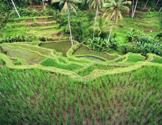Rice field Bali rijstveld Bali