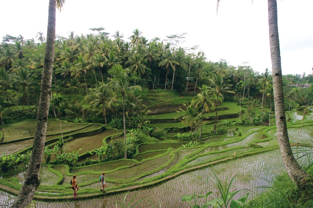 Bali rice field rijstvelden