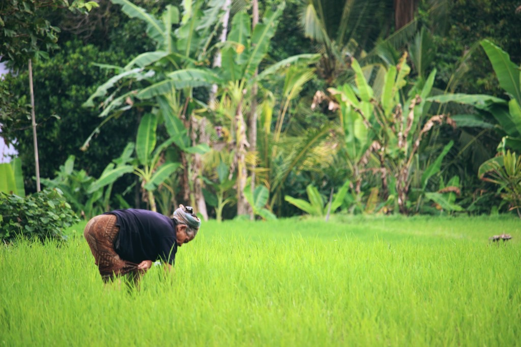 Working woman rice field Bali rijstvelden