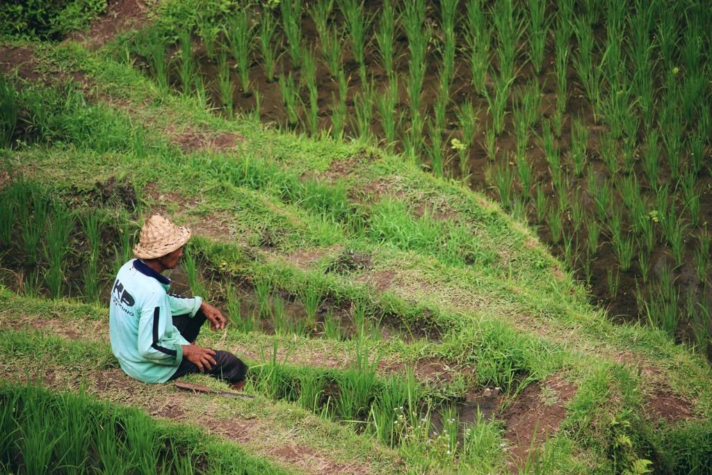 Man in rice field rijstvelden