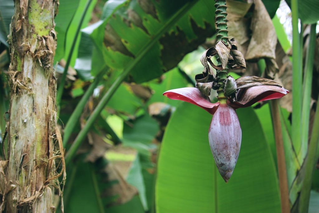 Purple flower in banana tree rijstvelden