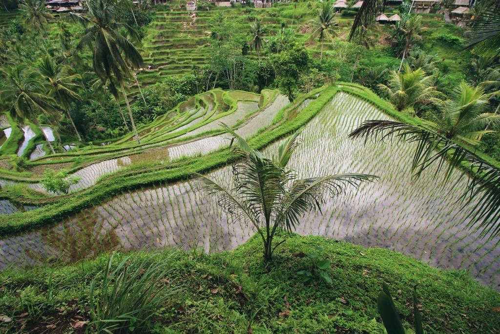 Rice field wet