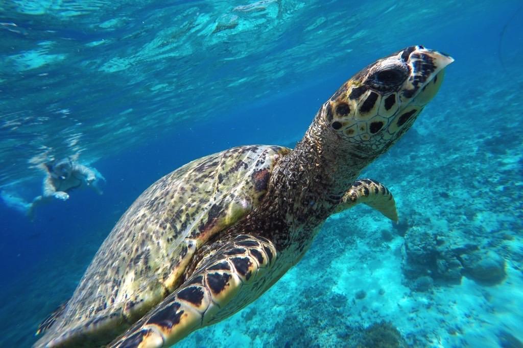 Sea turtle schildpad Gili Trawangan, Budget Gili