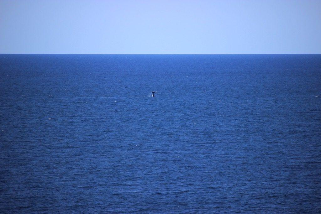 Bondi to Coogee Whale