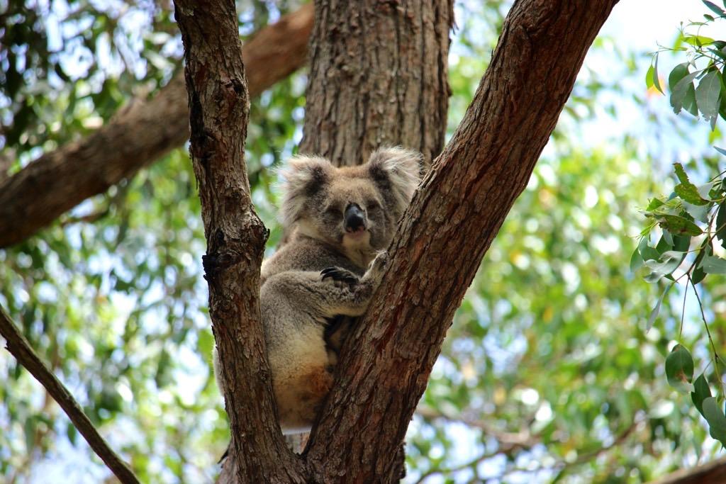 Travel Diary Koala Cleland Park