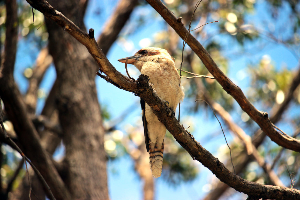 Kookaburra, Cleland National Park, Barossa Valley