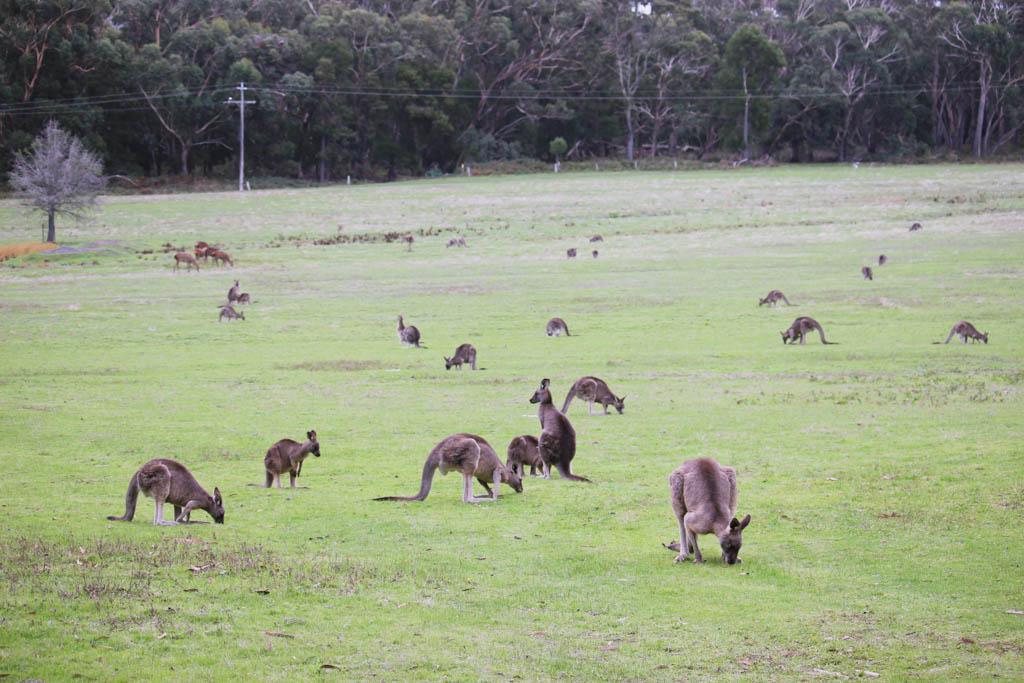 Kangoeroes Grampians