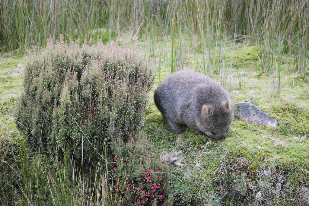 Wombat Tasmanië