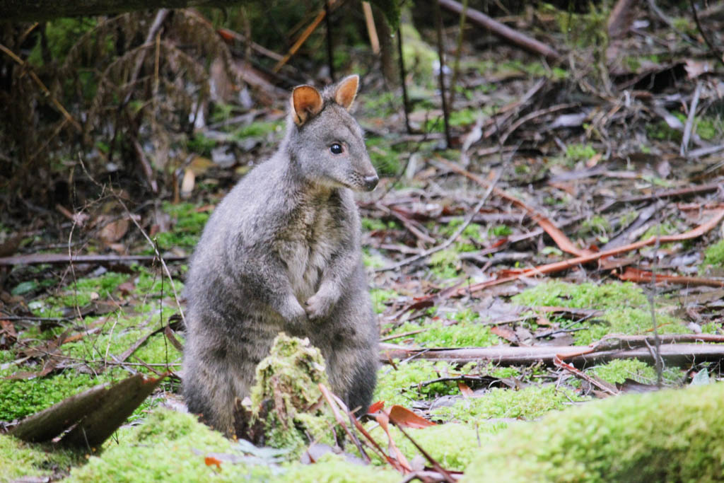 Pademelon Tasmanië