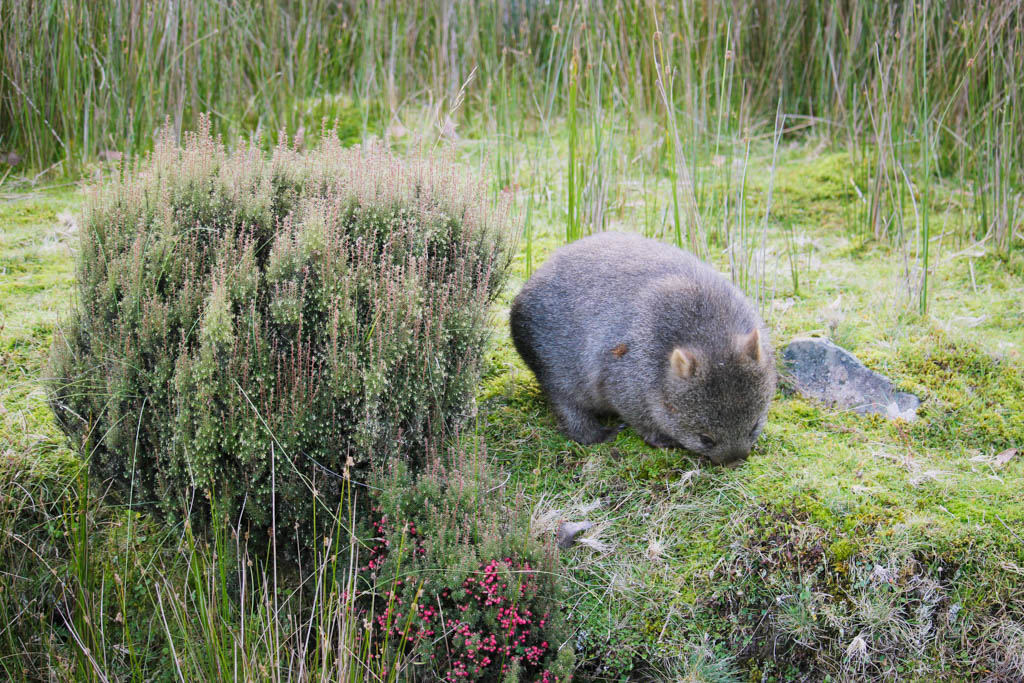 Wombat in Cradle Mountain