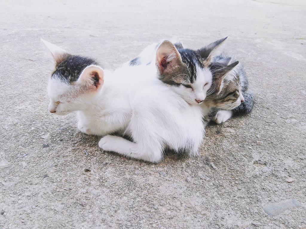Kittens Pulau Tioman