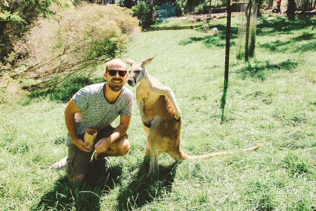 Adelaide Hills | Kangaroo | Cleland Wildlife Park