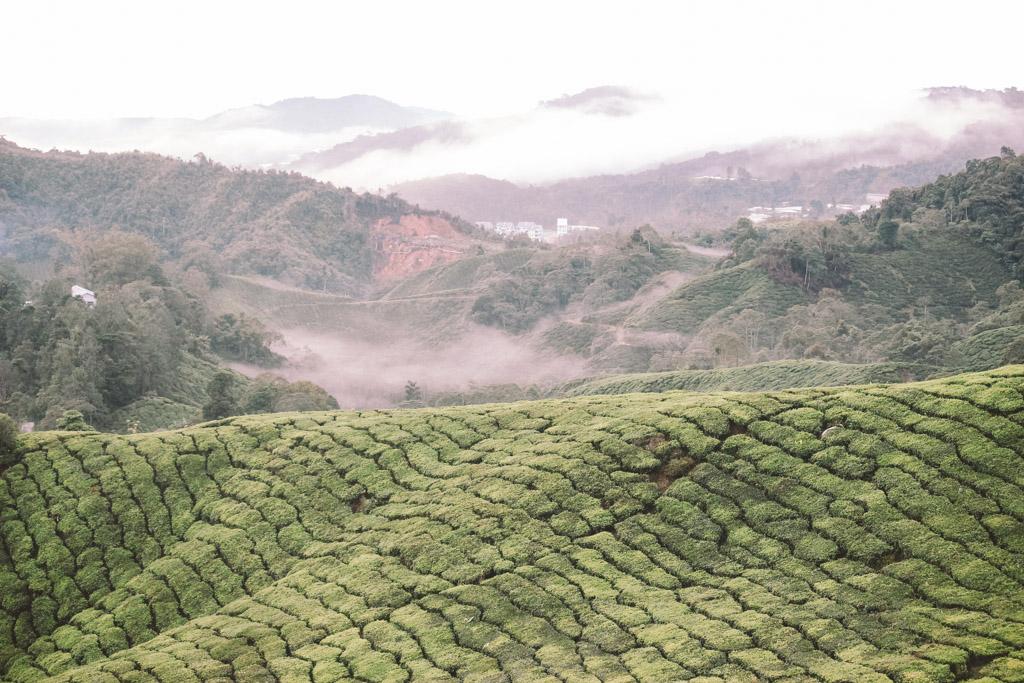 Tea Plantation | Cameron Highlands | Malaysia