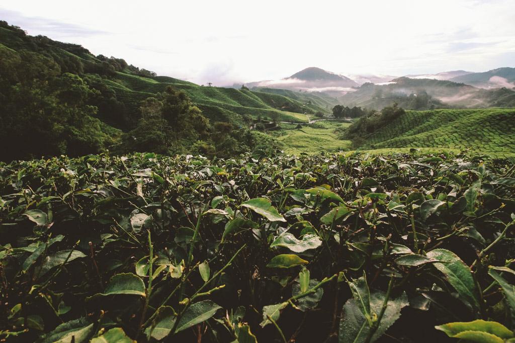 Cameron Highlands | Malaysia | Tea Plantation