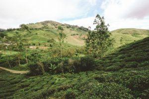 Cameron Highlands | Malaysia | Tanah Rata | Tea