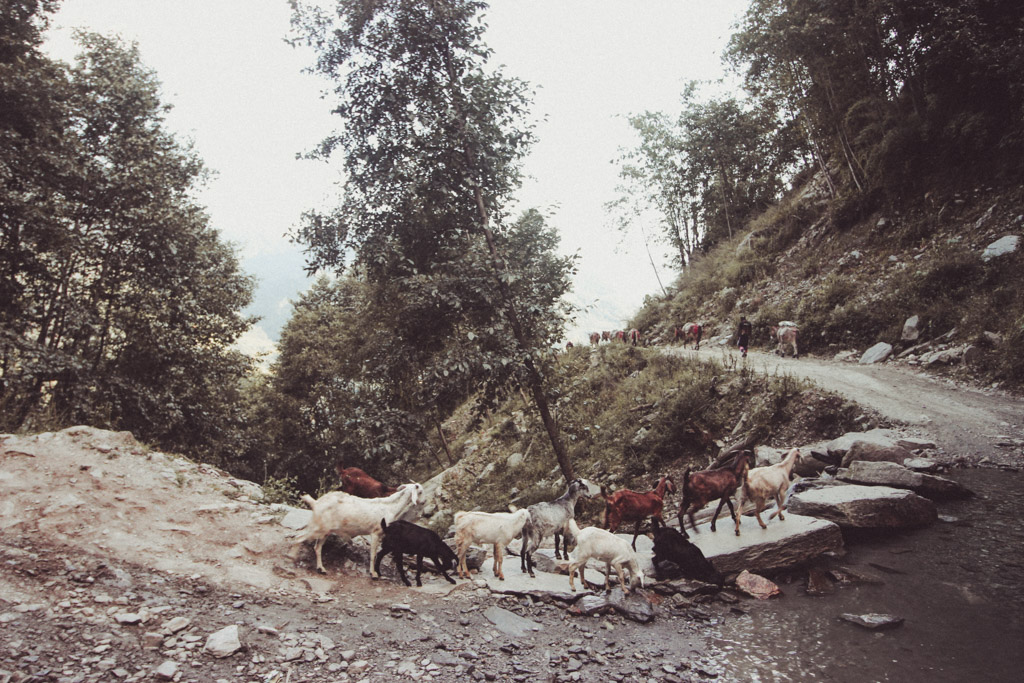 Nepal | Himalaya | Goat