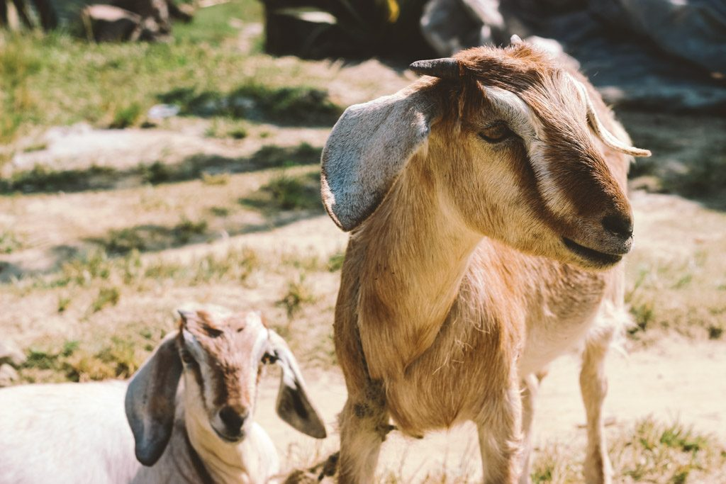 Goats | North Lakeside | Pokhara | Nepal