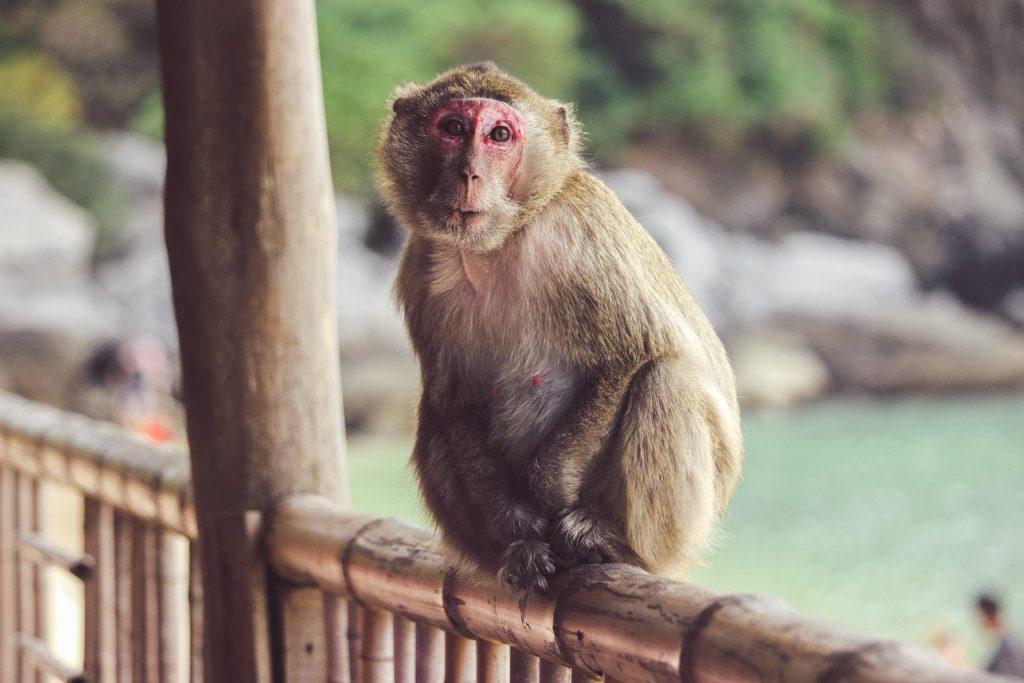 Cat Ba Island en Halong Bay   Aap   Monkey Island   Vietnam