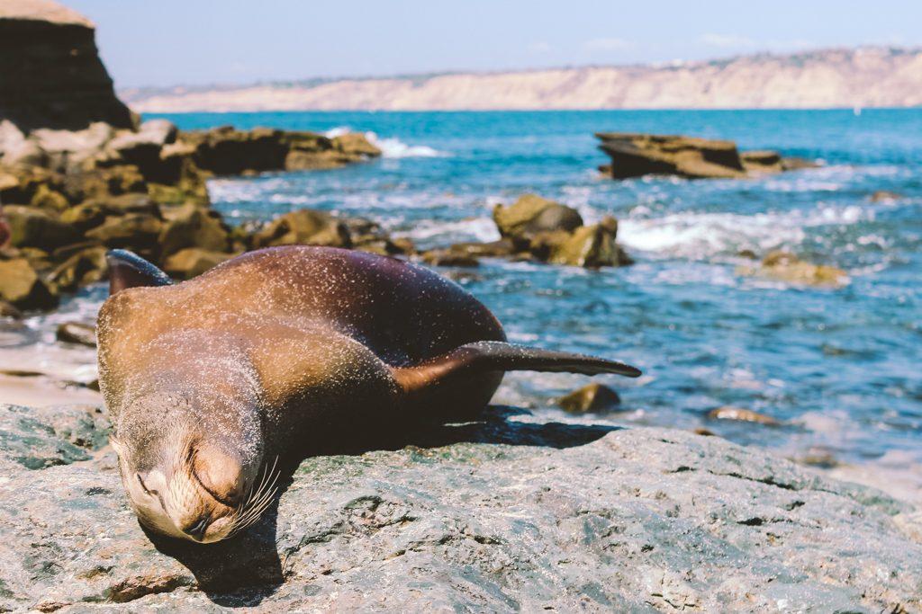 Zeeleeuwen La Jolla | San Diego | Verenigde Staten