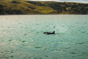 Zeezoogdieren in Nieuw-Zeeland | Orka | Auckland | Wildlife | Golf van Hauraki