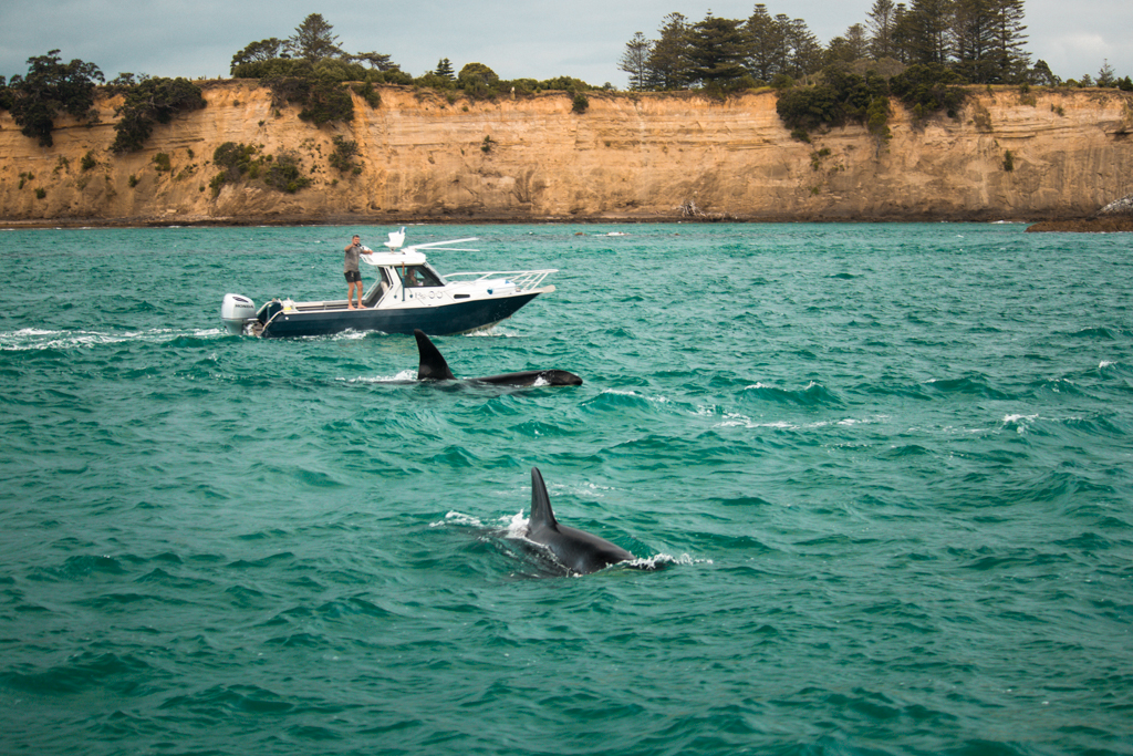Orka's | Golf van Hauraki | Auckland | Zeezoogdieren in Nieuw-Zeeland