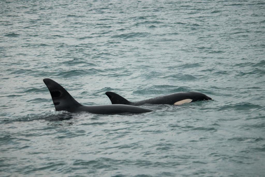Orka's | Zeezoogdieren | Nieuw-Zeeland | Golf van Hauraki | Auckland