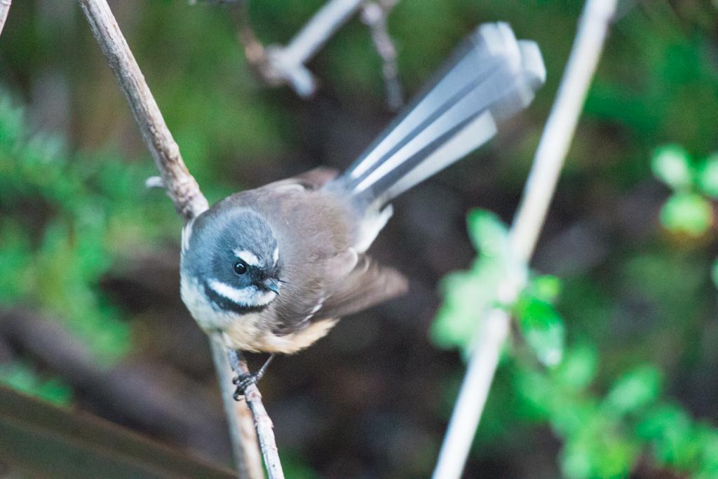 Fantail | Vogel | Nieuw-Zeeland