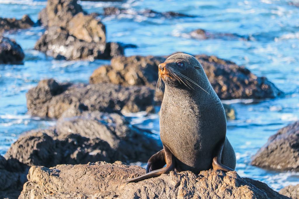 Cape Palliser | Zeeleeuwen | Noordereiland | Nieuw-Zeeland