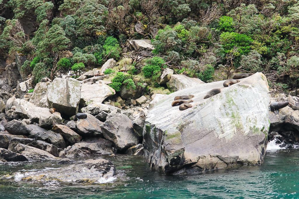 In Milford Sound kun je een hoop wildlife spotten, waaronder zeeleeuwen.
