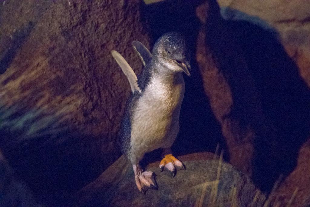 Pinguïns Timaru Zuidereiland Nieuw-Zeeland