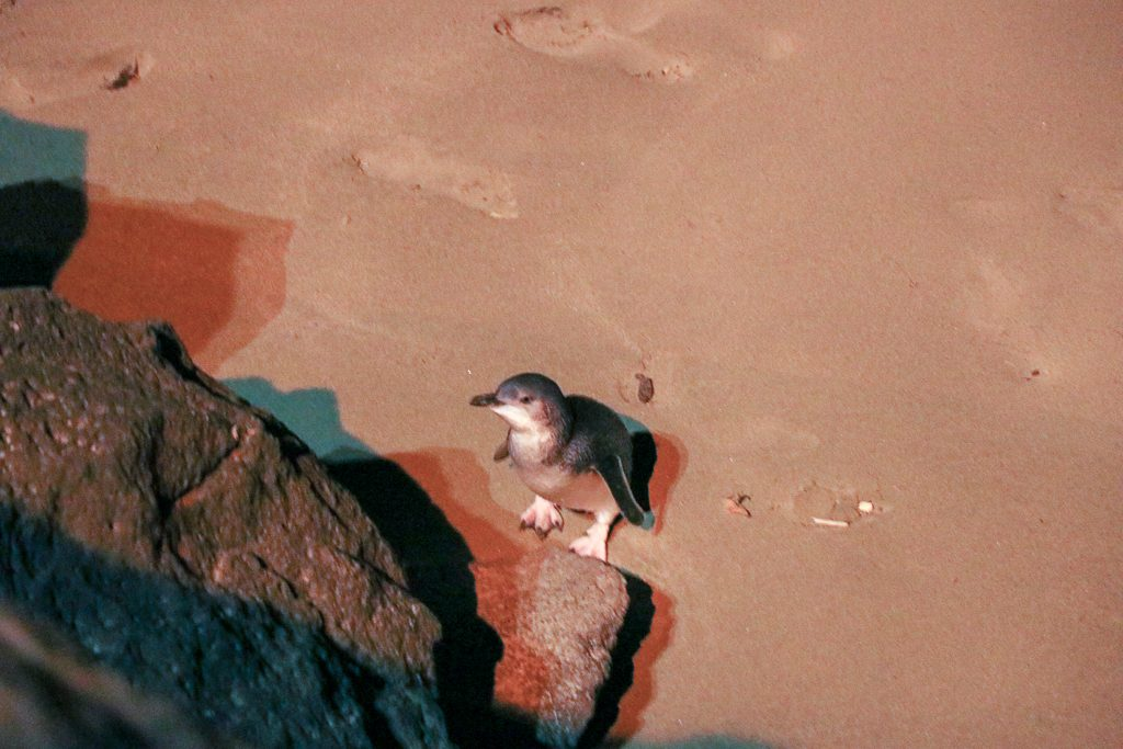 Hoogtepunten Zuidereiland: dwergpinguïn op strand in Timaru