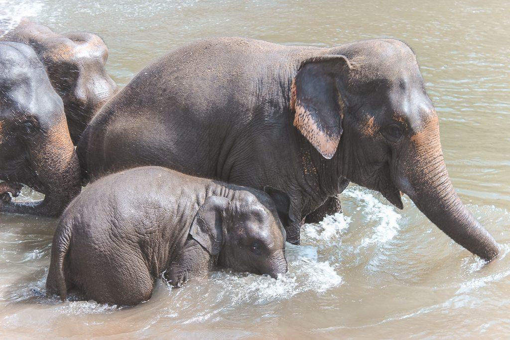 Drie olifanten in water met babyolifant.
