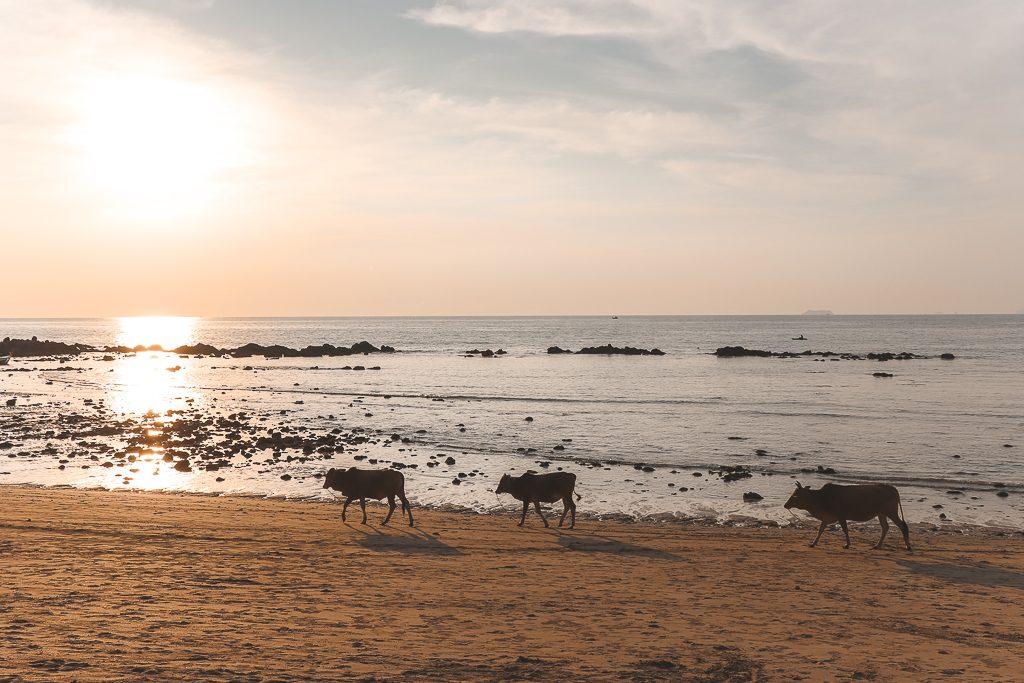 Drie koeien op strand met zonsondergang Koh Lanta.