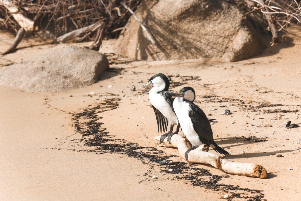 Zwartwitte watervogels in Nieuw-Zeeland.