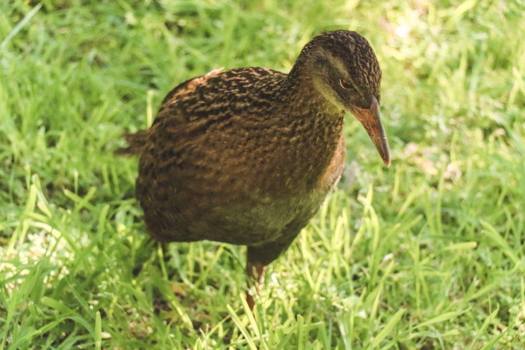Bruine vogel weka Nieuw-Zeeland