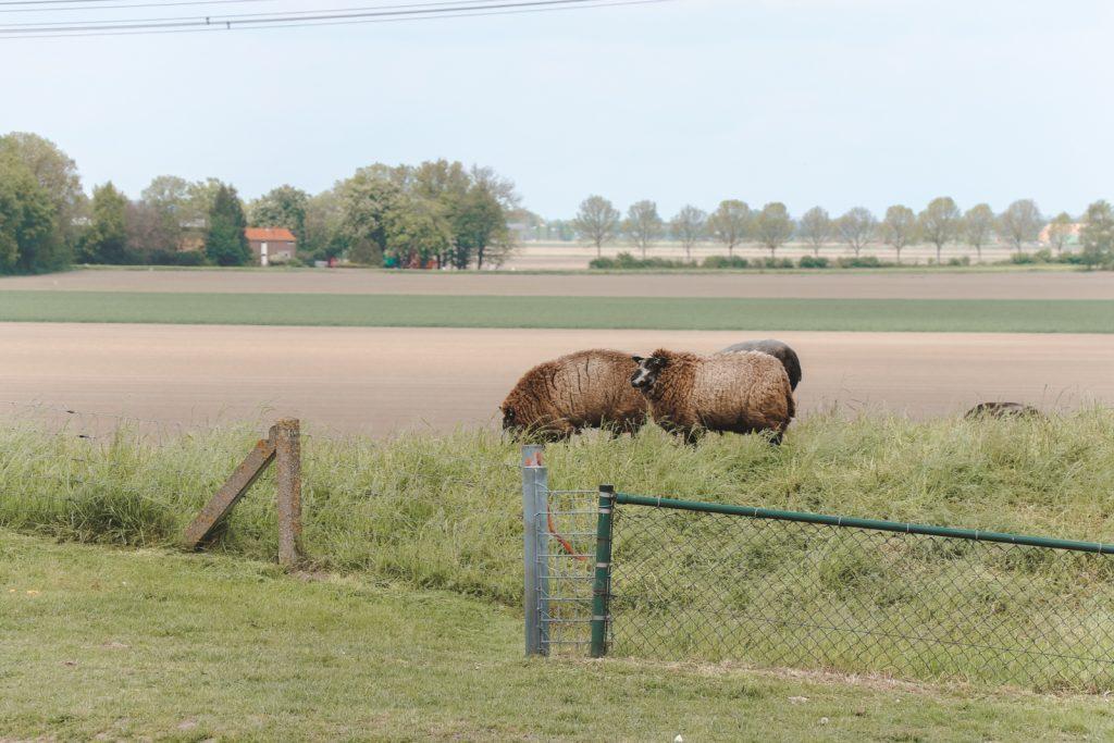 Drie bruine schapen op dijk.