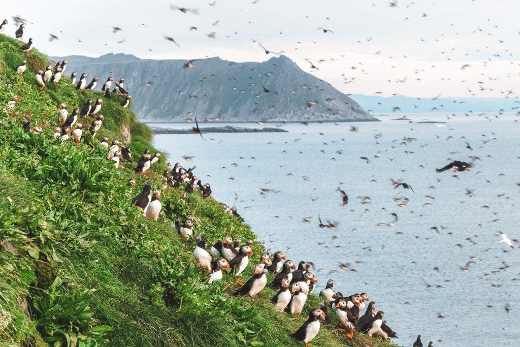 Papegaaiduikers op groene klif in Noord-Noorwegen
