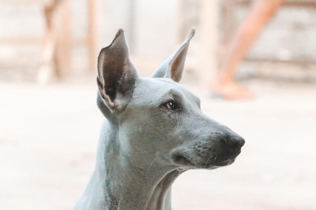 Witte hond met grote oren.