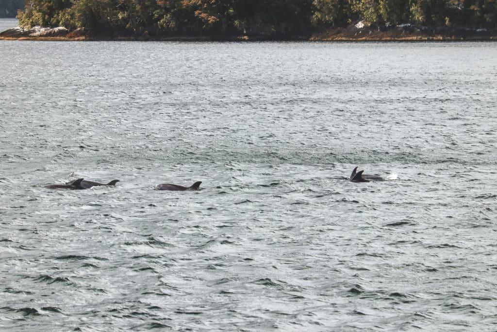 Dolfijnen in Tasmanzee bij Nieuw-Zeeland
