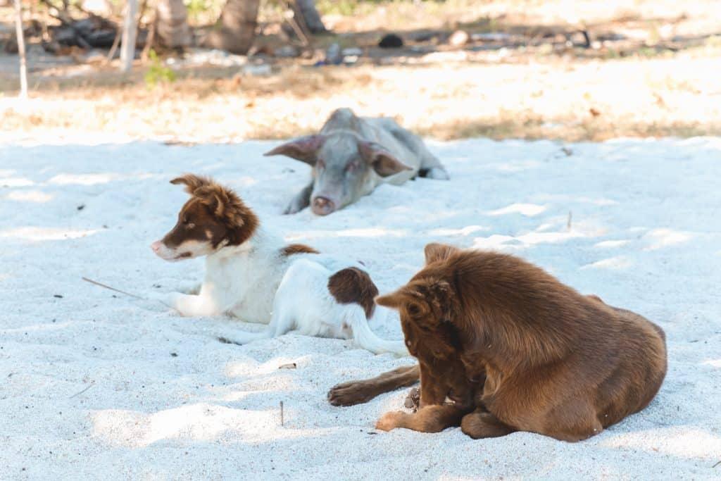 Twee bruine honden en een varken op strand