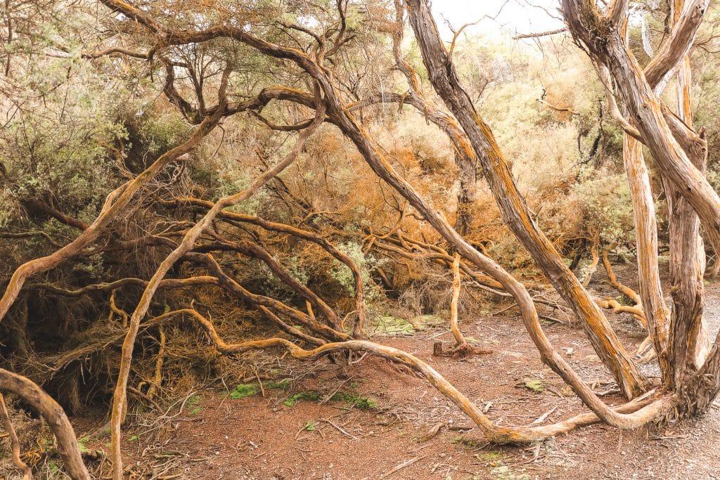 Gele bomen in Wai-O-Tapu